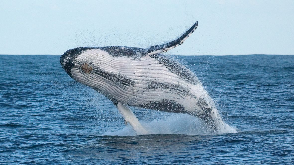 humpback whale fully breeching from water in Newcastle