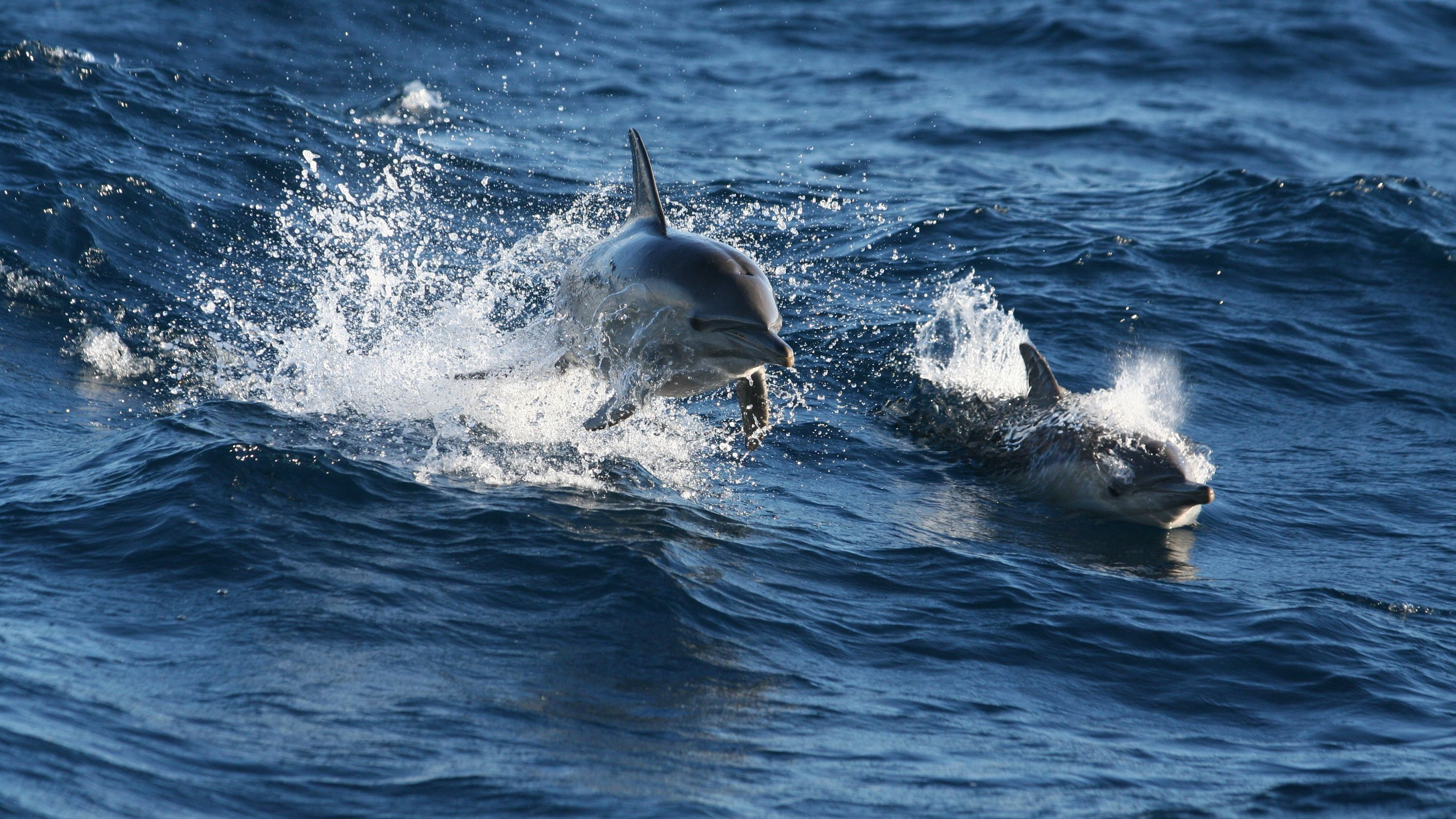 wo dolphins leaping from water in Newcastle