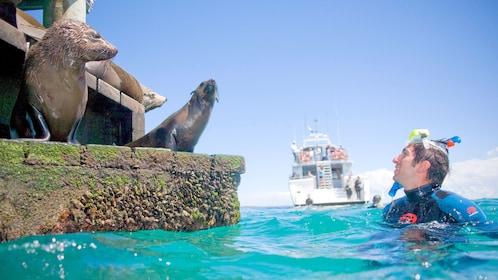 Scuba diver looking at seals on pier in Mornington Peninsula.