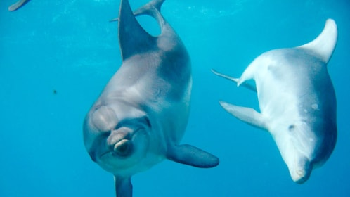 Dolphins swimming under water in Mornington Peninsula.