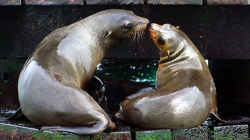 Two fur seals kissing on shore of Australian waters.