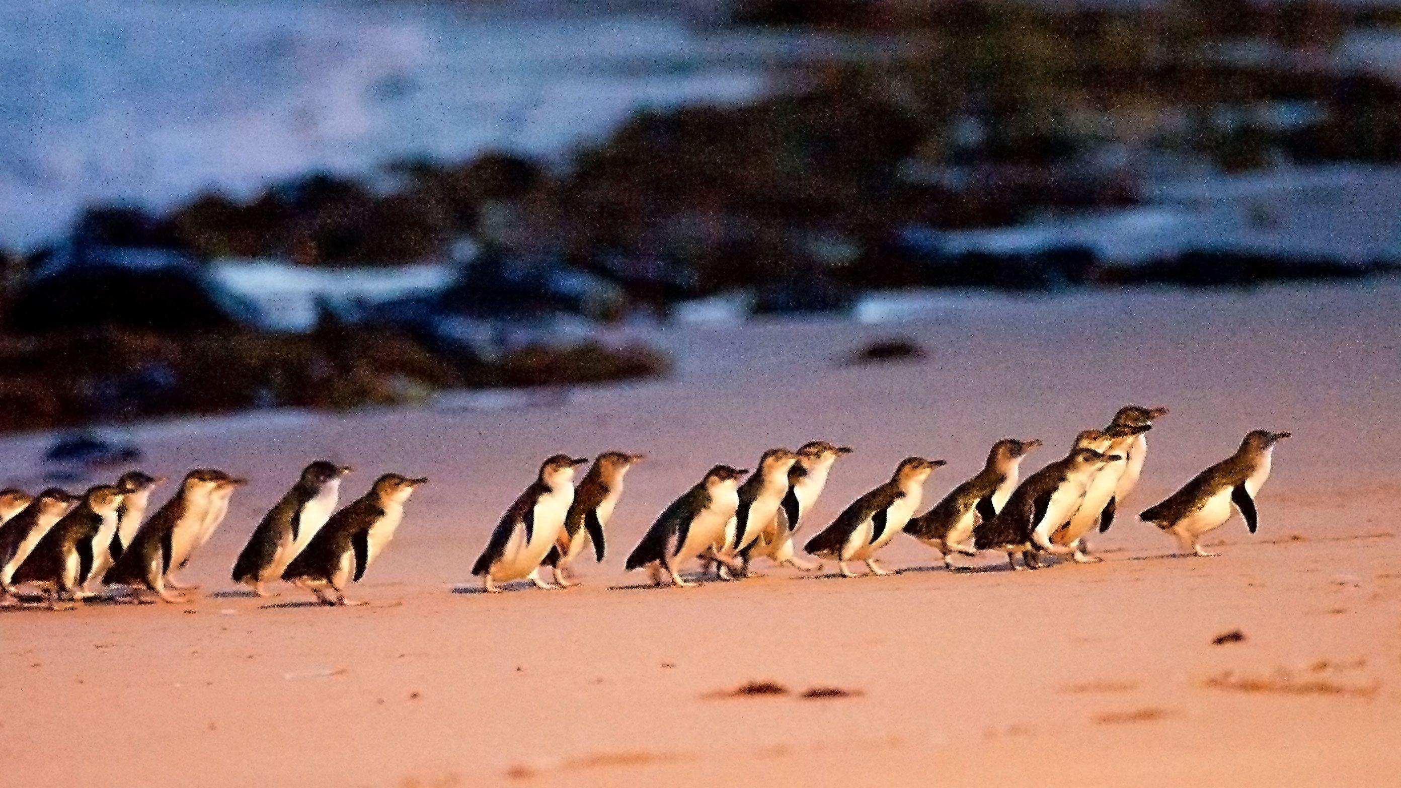 Phillip Island Penguin Parade Tour