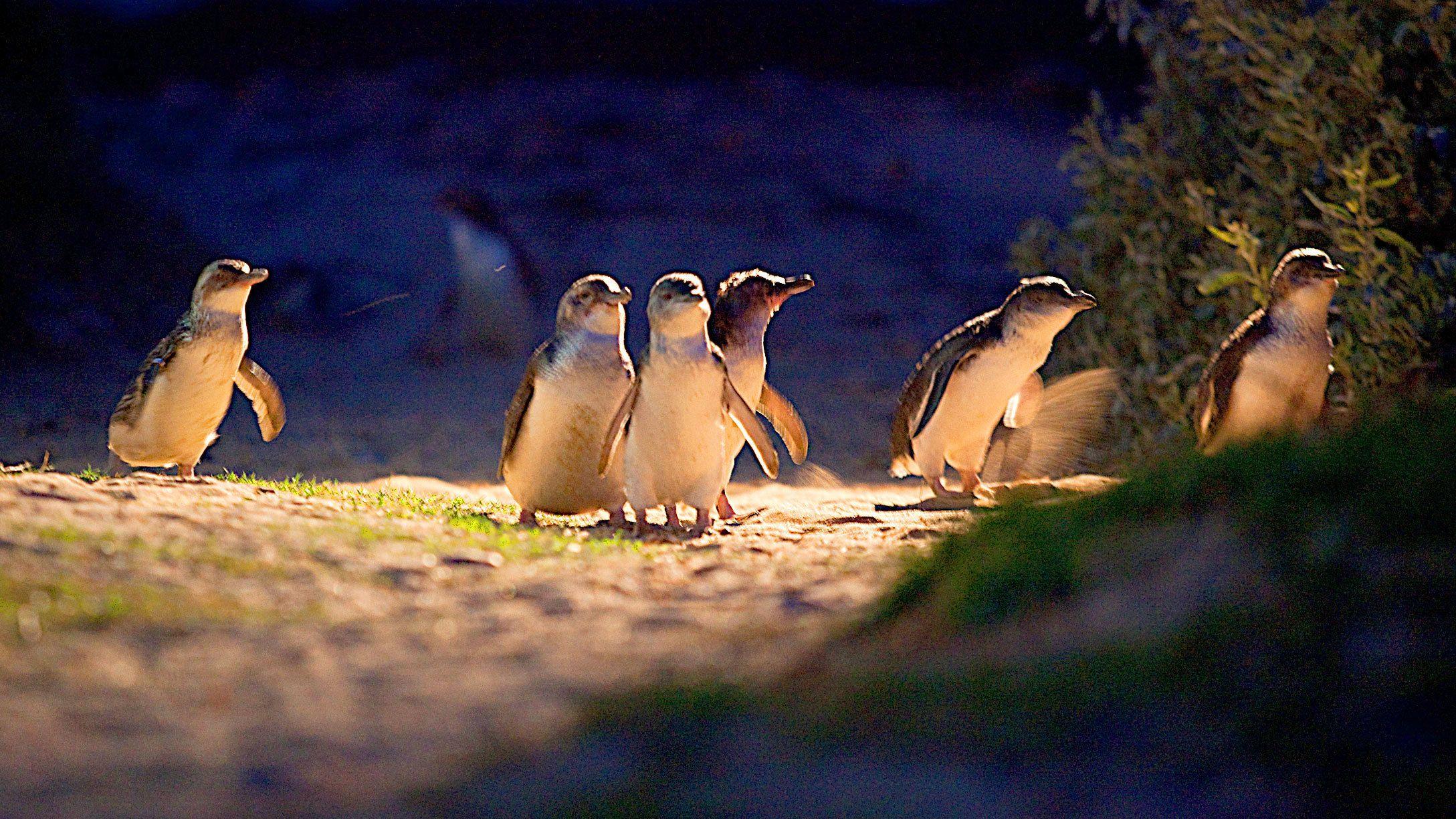 Penguin Parade & Moonlit Sanctuary Wildlife Express Tour