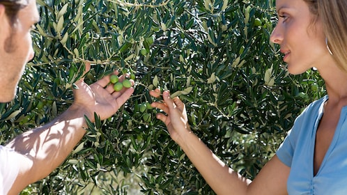 Couple looking at olives on a tree in Provence