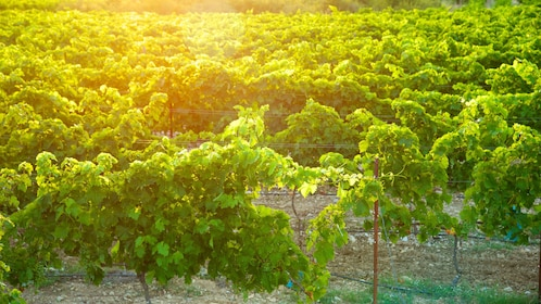 Rows of grapevines at a vineyard in Provence