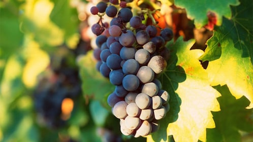 Graps on a vine at a vineyard in Provence