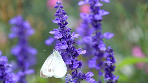 Butterfly on lavender in France