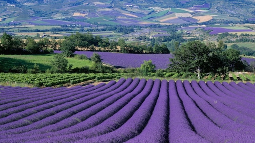 Stunning view of the lavender fields in France