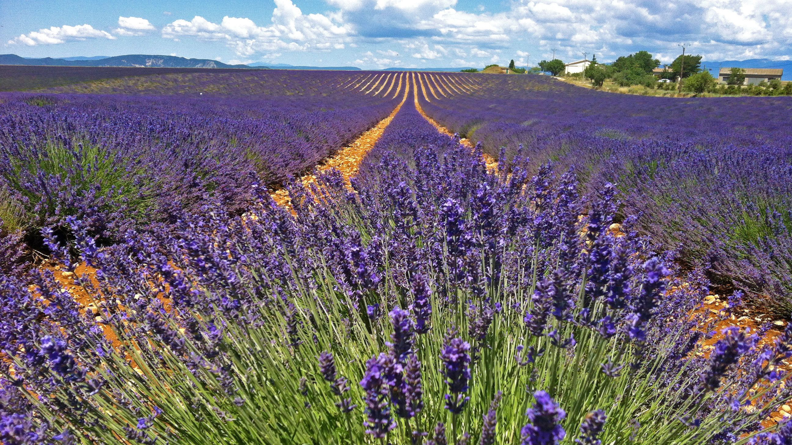 Fields of blooming lavender in Valensole