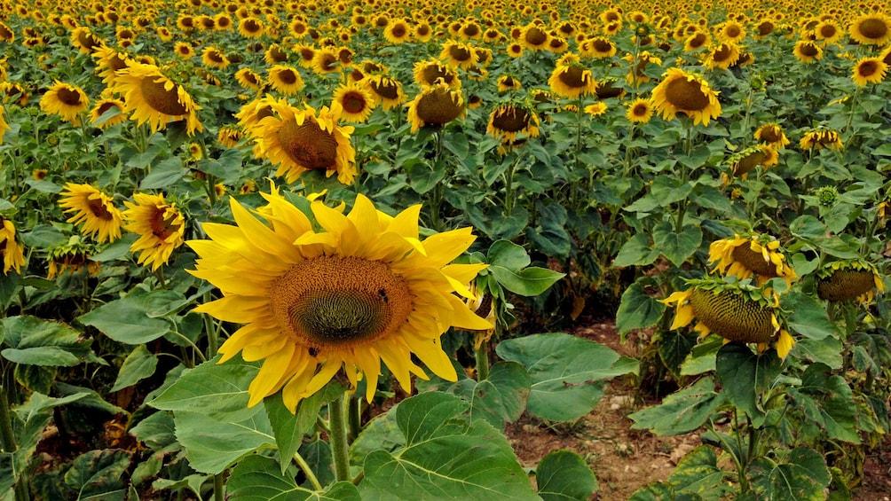 Charger l'élément 2 sur 5. Gorgeous sunflowers in France