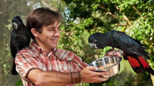 man feeds black macaws while parrot sits on his shoulder in Cairns