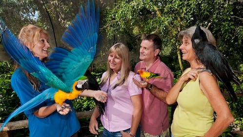 big blue macaw flaps its wings while on handler's arm in Cairns