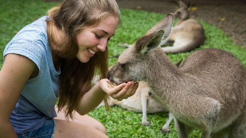 woman hand feeds tame kangaroo in animal sanctuary in Cairns