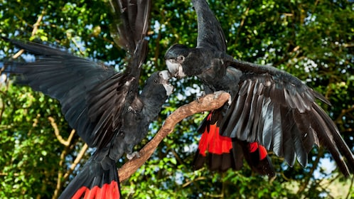 two black macaws play on branch in bird sanctuary in Cairns