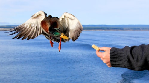 Cruise member hand feeding a duck on the Lake Taupo Scenic Cruise in New Zealand.