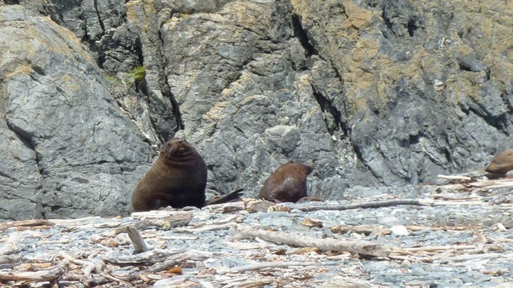 Show item 3 of 5. adult sea lions sitting on rocky beach in Wellington