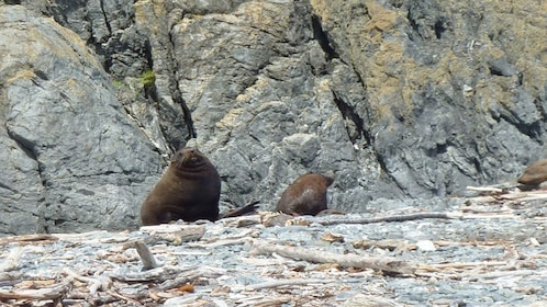 adult sea lions sitting on rocky beach in Wellington