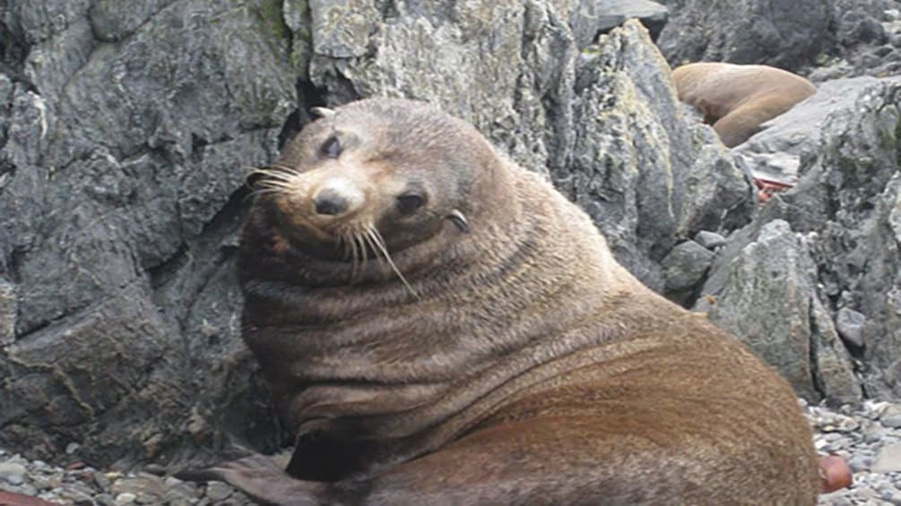 Show item 5 of 5. adult sea lion on rocky beach of Wellington