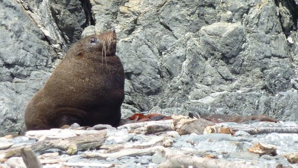 Show item 2 of 5. adult sea lion on rocky beach of Wellington