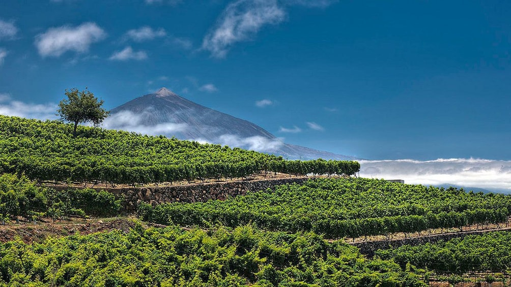 Foto 5 van 5. A lush vineyard with a mountain in the distance in Tenerife