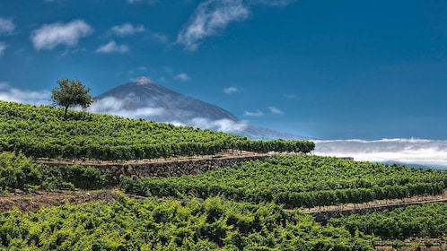 A lush vineyard with a mountain in the distance in Tenerife