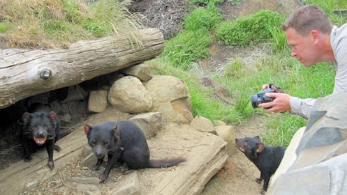 Observer taking photos of Tasmanian devils in conservation park in Australia.