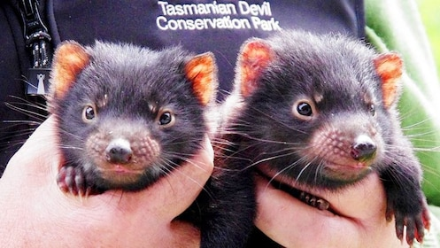 Tasmanian Devils being held by employee of Tasmanian Devil Conservation Park in Australia.
