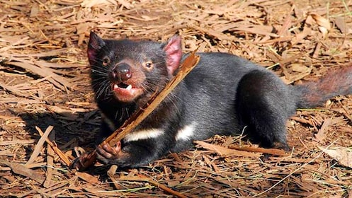 Tasmanian Devil chewing on stick in Conservation Park in Australia.