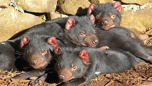 Group of Tasmanian devils in pile asleep in the conservation park in Australia.