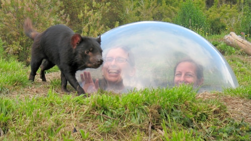 Tasmanian Devil walking by display window with two girls observating in Conservation Park in Australia.