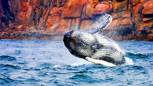 Leaping whale in the Freycinet and Wineglass Bay Cruise in Australia.