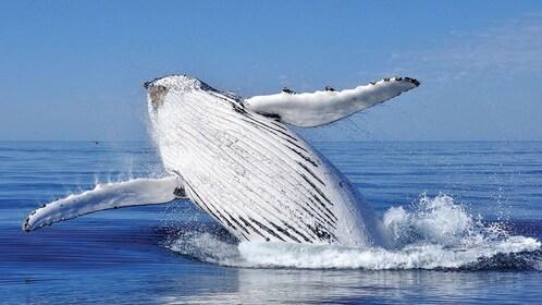 humpback whale breeching water in open ocean off Sydney