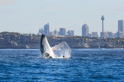 Sydney Harbour Premium Whale Watching