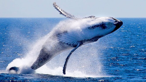 Whale flipping out of the water in Australia.