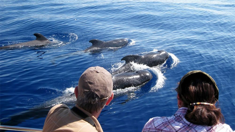 Pod of dolphins swimming alongside the tour boat