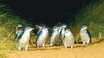 Phillip Island Penguins Tour from Melbourne