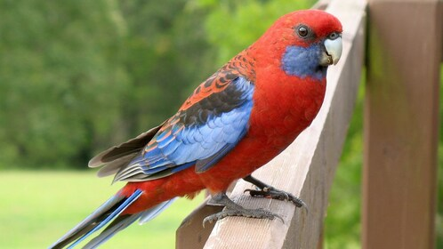 Colorful bird on fence in Yarra Valley in Australia.