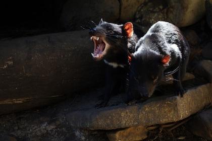 Tasmanian Devil Unzoo a.jpg