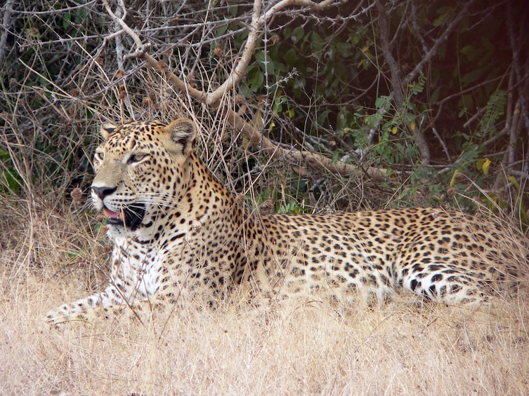 Show item 1 of 3. Yala National Park Safari from Talpe (Private Day Tour)