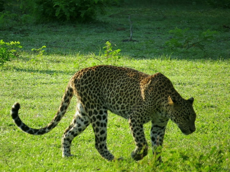 Show item 3 of 3. Yala National Park Safari from Talpe (Private Day Tour)