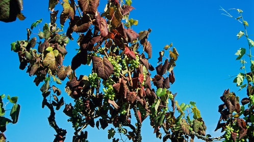 Grapes on a vine in a vineyard in Portugal