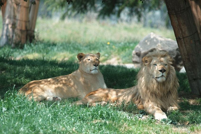 Show item 4 of 5. Two lions lounge at Fuji Safari Park