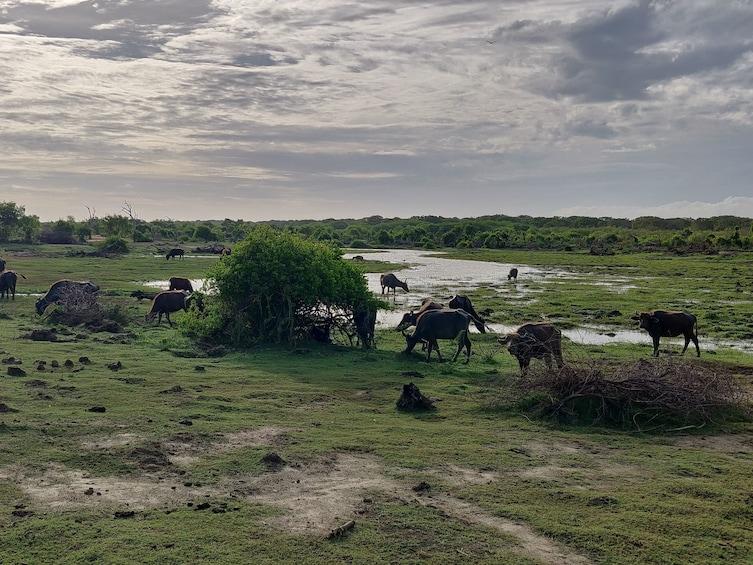 Show item 1 of 6. Bundala National Park Safari from Unawatuna