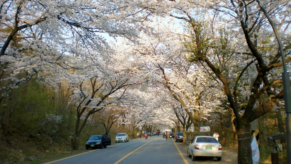 Show item 2 of 5. Road lined with blossoming cherry trees