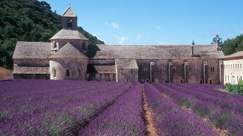rows of lavender bushes at Abbey Senanque in Marseille