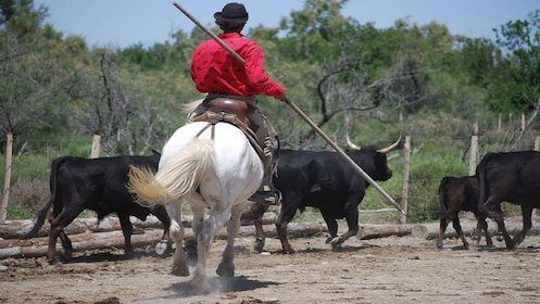 Camargue cowboy on horse leading bulls into pen in Marseille