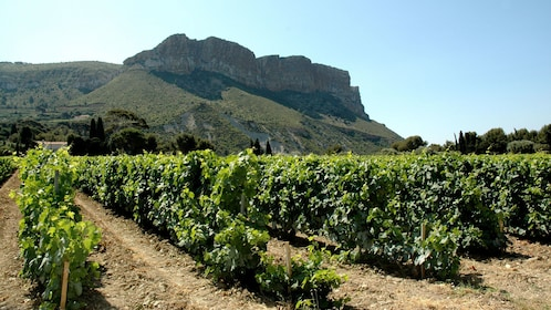 vineyard in village of Chassis Marseille