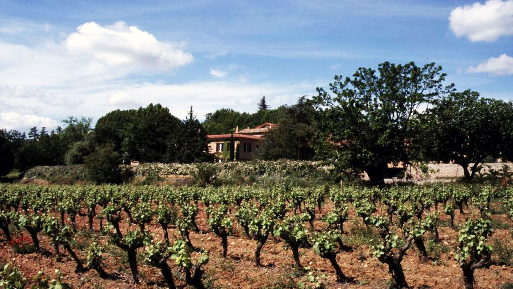 rows of grape vines in village of Bormes in Marseille