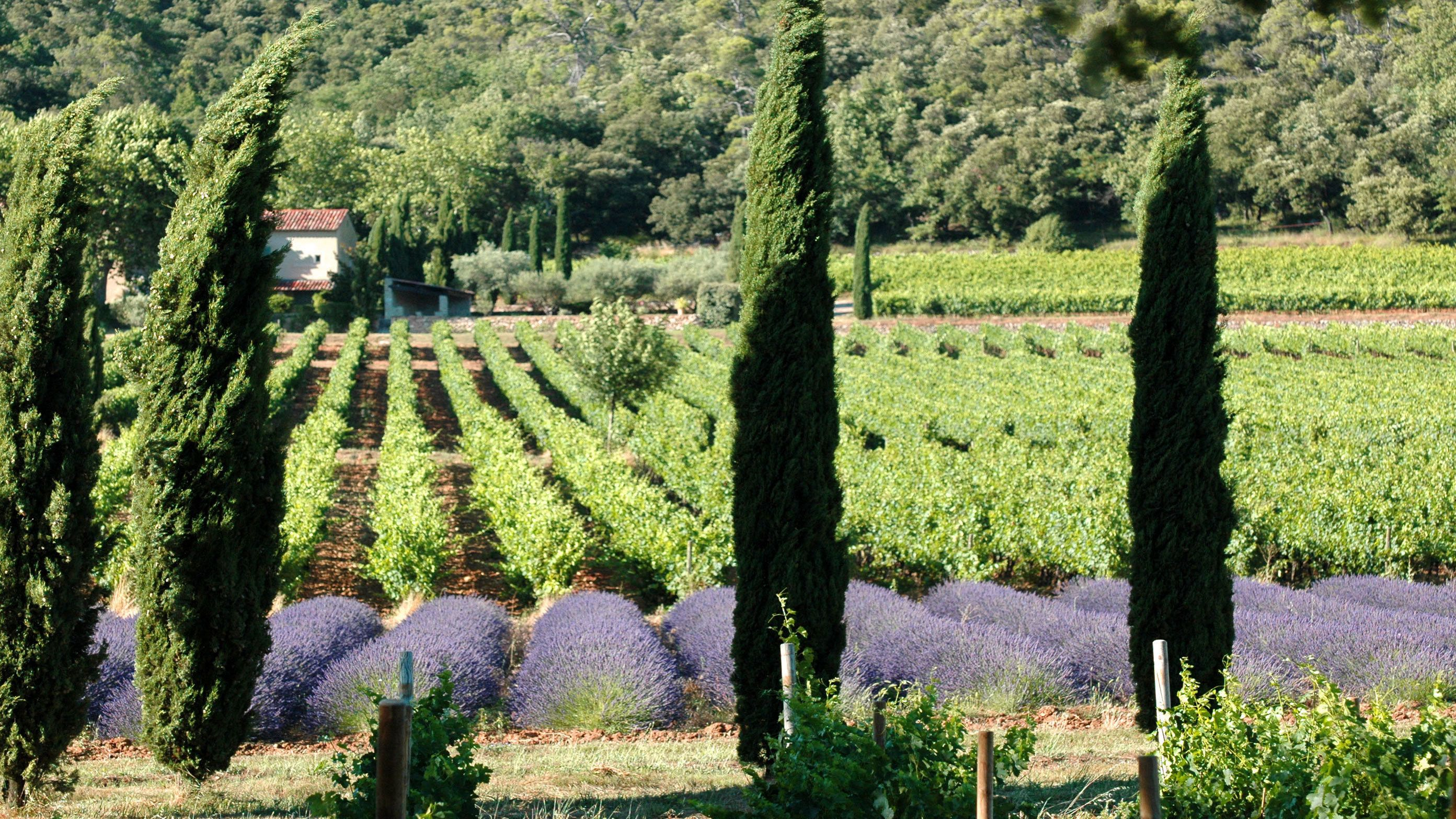 lavender fields and vineyard at Coteaux d'Aix Marseille