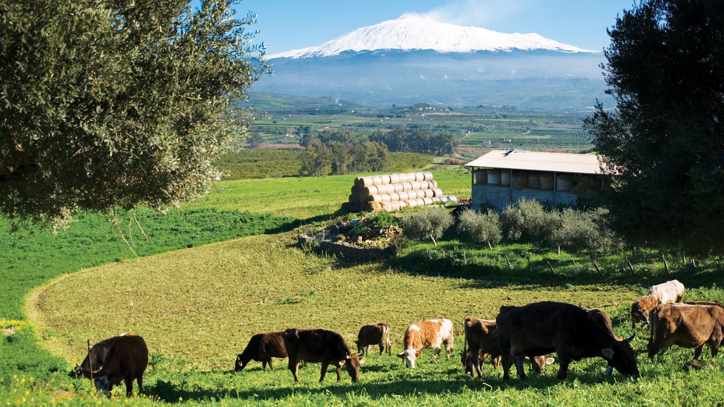 Herd of cattle on a farm with Mount Etna in the distance in Sicily
